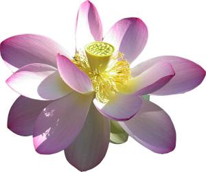 Lotus utskuren
